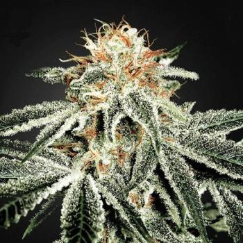 White Widow Hanfstecklinge
